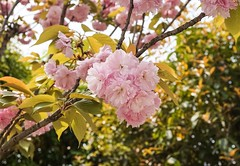 Pretty pretty Nanjing flowers (jessicalum) Tags: asia nature yearabroad travel explore purplemountain purple close pretty pink green autumn spring summer nanjing china cherryblossom plumblossom floral flower