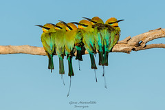 Room for one more? (Outdoorsnap) Tags: rainbow beeeater westernaustralia great sandy desert group perched