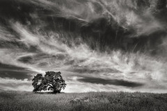 Oaktree beneath Cirrus Clouds (StefanB) Tags: 2017 calerocountrypark california clouds em5 geotag hiking outdoor tree treescape oak 1235mm