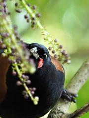 Teike (Saddleback) (digitaltrails) Tags: saddleback karori karoribirdsanctuary tieke newzealandbird sanctuary philesturnuscarunculatus newzealand zealandia