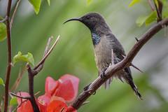 Seychellennektarvogel (Thomas Berg (Cottbus)) Tags: geo:lat=433757469 geo:lon=5583190799 geotagged seychelles sunbird cinnyris dussumieri seychellennektarvogel la digue seychellen