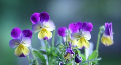 Dreamy Viola (Through Serena's Lens) Tags: liveplant softfocus viola flower dreamy lensbabyvelvet56 outdoor nature dof bokeh 7dwf flora odc