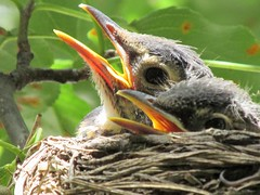 baby robins up close and personal.....THANK YOU EXPLORE! (rdedks2011) Tags: kansas bird nest nature robin