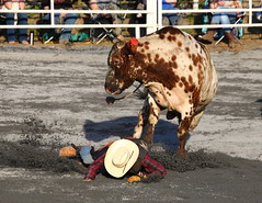 Eatin' Dirt (ftherit) Tags: rodeo bull riding brahman cowboy jbarw ranch unionbridge maryland usa canon 5d ii 100400mm