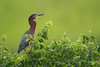 Green Heron (Mark Schwall) Tags: greenheron butoridesvirescens heron heronry rookery nj newjersey nikon nikkor600mmf4ais manualfocus markschwallphotographycom d500 breedingplumage perched southernnewjersey