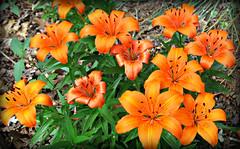 Orange Day-lilles ---  Wide open (snow41) Tags: flower mayflower daylily orange