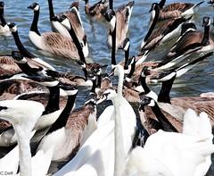 Friends (C.DeR) Tags: swan swans ducks birds water lake artwork pretty animals nature ngc stratford