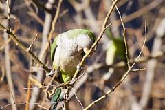 Cotorra_08 (capicua56) Tags: animales cotorra