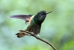 IMG_6459 Buff-tailed Coronet (suebmtl) Tags: bird birding hummingbird ecuador napoprovince guangolodge boissonneaua flavescens papallacta