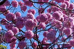 Ipê rosa (✿ Graça Vargas ✿) Tags: ipê pink sky tree flower graçavargas brasilia brasil tabebuia tabebuiaheptaphylla floweringtree ©2017graçavargasallrightsreserved 17606140717