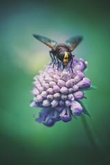 hornet mimic hoverfly (christian mu) Tags: flowers nature bokeh germany münster muenster botanicalgarden botanischergarten hornetmimichoverfly sonya7ii sony 9028g 90mm 9028 christianmu schlossgarten