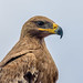 Wild Steppe Eagle (Aquila nipalensis) showing its 'smiley face'.