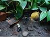 DSC02454 (jrucker94) Tags: frog bluefrog blue