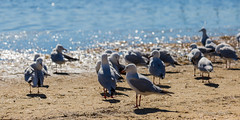 Jewels of the lake (ImagesByLin) Tags: 2017 centralcoast longjetty birds bokeh lake seagulls sunkissed water