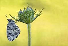 Schachbrettfalter (HelmiGloor) Tags: schachbrettfalter melanargiagalathea tagfalter schmetterling butterfly insekten insecta damenbrett olympusomdem1mkii olympusmzuikodigitaled60mm macro makro focusstacking focusbracketing wildlife möhlin