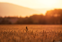 Singing to the sunset (Photographordie) Tags: samyangasphericalif85mmf14 olympuspenepm2 sunset atardecer campodetrigo navarra flare bokeh golden goldenlight goldenhour 85mm 14 olympus epm2 rokinon rokinon85mm samyang85mm bird summer heat wheatfield pajaro