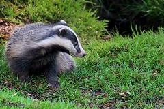 Badger (parry101) Tags: south wales southwales nature geraint parry geraintparry wildlife animal animals d500 nikon sigma sigma150600 150600 150600mm nikonuk sigmauk badger badgers mammal mammals dinefwr llandeilo carmarthenshire