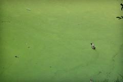 Duck (mrh_enan) Tags: duck pond water 5200 nikon