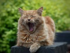 Hear me roar! (Nina_Ali) Tags: feline cat outdoors depthoffield leicester nikond5500