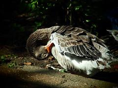 ∞ (Luicabe) Tags: airelibre animal ave cabello enazamorado exterior luicabe luis naturaleza oca pluma vertebrado yarat1 zamora zoom ngc
