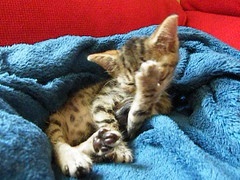 Sleepy grooming and Extra cute Tribble (rospix+) Tags: rospix 2017 july wales uk video animal cat tabby tabbycat kitten cute grooming sleepy