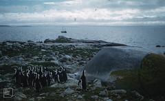 Jackass penguins and Malgas - Jutten Island
