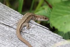 (Zatanen) Tags: zootocavivipara lizard lisko ödla commonlizard skogsödla viviparous sisilisko reptiles waldeidechse lézard lagarto