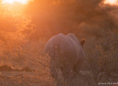 South Africa (478 of 810) (gracemcleod94) Tags: buffaloland africa black blackrhino dehorned rhino south