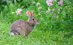 Bunny in the Wildflowers (imageClear) Tags: rabbit bunny flowers cute natue wildlife aperture nikon d500 80400mm imageclear flickr photostream