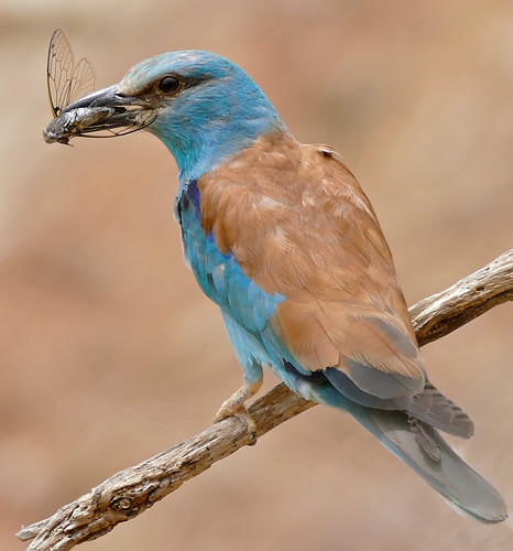 European Roller (Coracias garrulus) with a Common Cicada (Lyristes plebejus) in its bill ...
