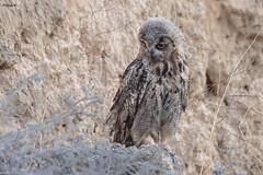 Young Eurasian eagle-owl (Dave 5533) Tags: owls animal wild nature outdoor bird birdofprey eurasianeagleowl canoneos1dx sigma150600mmf563dgoshsm wildlife nopeople naturephotography inexplore sunrays5 eiap coth