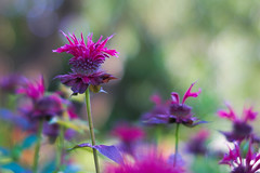 (Light Echoes) Tags: sony a6000 50mm 2017 summer july pennsylvania buckscounty plant flower beebalm bokeh purple