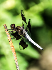 long-tailed skimmer (Plathemis lydia)