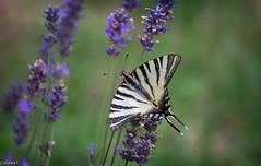 Papillon Flambé. (Crilion43) Tags: région véreaux feuillesfeuillage papillon fleursetplantes flambé cher centre lavande animaux paysages villes