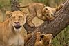 Lions of Maasai Kopjes 414 (Grete Howard) Tags: bestsafarioperator bestsafaricompany africa africansafari africanbush africananimals whichsafaricompany whichsafarioperator tanzania serengeti animals animalsofafrica animalphotos lions lioncubs maasaikopjes kopjes kopje