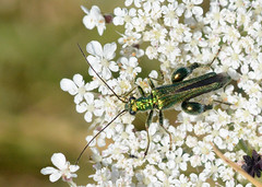 Swollen-thighed Beetle (John_E1) Tags: swollenthighed beetle oedemera nobilis insect macro closeup green