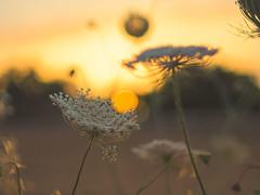 Golden Hour (VintageLensLover) Tags: sonnenuntergang sonne wiesen feld sommer mallorca spanien bokeh dof schärfentiefe olympus omd em1 m43