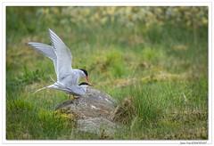 Amours de Sternes arctiques ! (C. OTTIE et J-Y KERMORVANT) Tags: nature oiseaux sternes sternesarctiques islande