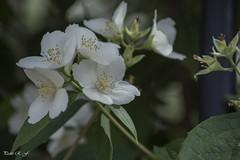 Copos de flores (pedroramfra91) Tags: naturaleza nature primavera spring flores flowers jardín garden