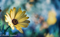 the ray (frederic.gombert) Tags: flower daisy blue light sun sunlight sunray color colors yellow macro nikon 105mm flowers plant summer garden