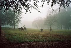 Frame 12.jpg (njcull) Tags: 35mm builtin c41 cn100 canberra film lomography lomographycolornegative100 nikonl35af westonpark kangaroo yarralumla australiancapitalterritory australia