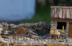 rambo the robin  micro garden bird table  (8) (Simon Dell Photography) Tags: ambo yorkshire robin bird nature wild life animals sheffield uk old english garden model modle micro table stone made diy hand dry best red breast simon dell photography
