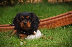 Eliot (Karol Kuchcinski) Tags: dog puppy cavalier kings charles spaniel green playground toy