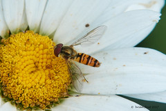 hoverfly on yellow flower (Brian Flint) Tags: marmaladehoverfly hoverfly rx10iii macro 7dioptre episyrphusbalteatus rx10m3