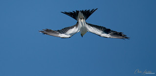 Another Swallow-Tailed Kite from my latest trip to Lake Apopka Wildlife Drive