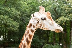 IMG_0405.jpg (wfvanvalkenburg) Tags: ouwehandsdierenpark familie giraffe
