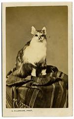 Chat à lunettes - Cat In Glasses (...Olivier...) Tags: cat chat glasses lunettes cdv cartedevisite vintage ancienne photo photographiedeloratoire villeneuve paris france french fun funny drôle humour secondempire