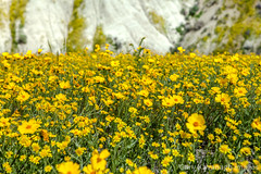 Hillside daisy & goldfield flowers below Mckittrick Summit (Gary Rides Bikes) Tags: california carrizoplain carrizoplainnationalmonument northamerica sanluisobispocounty springtime temblorrange usa beautyinnature goldcolored idyllic inbloom nature nopeople plain remote scenicsnature vibrantcolor yellow