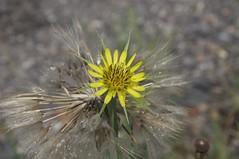 Blüte II - Großer Bocksbart (fotio14) Tags: blüte samen wassertropfen groserbocksbart landschaft grosenhainerpflege sachsen natur tragopogondubius