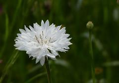 Snow White (joeke pieters) Tags: 1350086 panasonicdmcfz150 korenbloem cornflower wit white bloem flower
